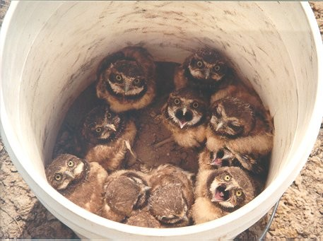 A bucket of owls |