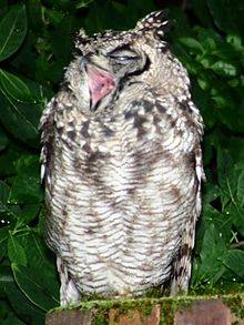 Spotted Eagle Owl yawning WTF owls yawns yawn