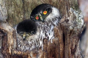 Barking Owls owlets babies australia